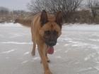 Фото в Собаки и щенки Вязка собак Кобель здоровый активный, паспорта нету. в Сыктывкаре 0