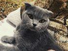 Увидеть foto Вязка Вязка кошки фолд, ищем кота страйт 32663671 в Таганроге