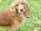 Фото в Потерянные и Найденные Потерянные Пропала собака. Кокер-спаниель, окрас рыжий, в Таганроге 0