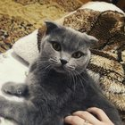 Вязка кошки фолд, ищем кота страйт