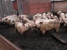 Изображение в   Продается свинина выращена на домашнем подворье, в Тамбове 200