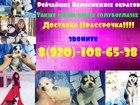 Фотки и картинки Сибирский хаски смотреть в Тамбове