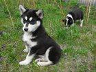 Фото в Собаки и щенки Продажа собак, щенков Продаю щенков Сибирской хаски и щенят Русско-европейской в Тетюшах 4000
