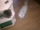 Фотография в   Ищу кошку для вязки шотландская вислоуха в Тихорецке 0