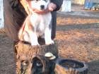 Изображение в Собаки и щенки Продажа собак, щенков Предлагаются к продаже очаровательные щенки в Тихорецке 30000