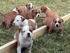 Смотреть foto Продажа собак, щенков КУПЛЮ ( от 1000 до 5000)! или ПРИМУ В ДАР! Американского стаффордширского терьера, 33131957 в Тюмени