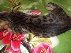Фотография в Кошки и котята Продажа кошек и котят Версаль - очень замечательный бенгальский в Тюмени 30000