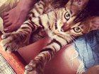 Фотография в Кошки и котята Продажа кошек и котят Срочно продаю бенгальскую кошечку 1 годик! в Тюмени 6500