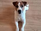 Фото в Собаки и щенки Вязка собак Джек Рассел ищет девочку, 2 года. Имеет метрику в Тюмени 0