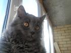 Фотография в Кошки и котята Вязка Ищем Кошечку для вязки для Сибирского Ко в Тюмени 0