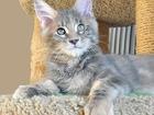 Изображение в Кошки и котята Продажа кошек и котят Продается котенок мейн-кун Джессика, окрас в Тюмени 0