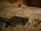 Увидеть фото Услуги для животных Милая, нежная кошечка Ласка ищет принца котика для вязки 37448609 в Тюмени