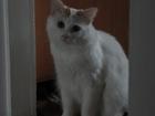 Фотография в Кошки и котята Вязка Возраст 1, 2 года ищет опытную подружку. в Тюмени 0