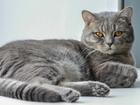 Скачать бесплатно фотографию Вязка Шотландский кот для вязки 37731485 в Тюмени