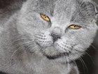 Фото в Кошки и котята Вязка кошечка   шотландской породы Скоттиш-фолд в Тюмени 0