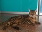 Увидеть изображение Вязка кошек Бенгальский кот приглашает невест для вязки 40303480 в Тюмени