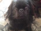 Скачать бесплатно изображение Вязка собак Вязка! Очень красивый и порядочный пекинес ищет себе пекинесиху, Ричу 1,5 года и он очень хочет побыстрее познакомится с сучкой, BuyReklama, ru 67950688 в Тюмени