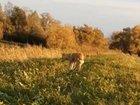 Продам щенка западно сибирской лайки