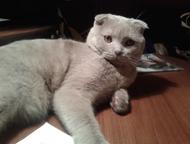 Вязка с котом Предлагаем вязку с шотландским вислоухим котом