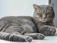 Шотландский кот для вязки Прямоухий красавец-шотландец приглашает кошечек на вяз