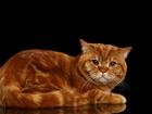 Изображение в Кошки и котята Вязка Молодой красивый кот приглашает на вязку в Тобольске 5000