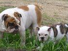 Фотография в Собаки и щенки Продажа собак, щенков Предлагаются к продаже два подрощенных английских в Тольятти 0