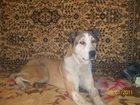 Смотреть foto Потерянные Пропала собака 33928474 в Тольятти