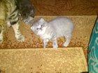 Фото в Кошки и котята Продажа кошек и котят кошечка очень красивая, голубого окраса, в Тольятти 2500
