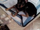 Фотография в Собаки и щенки Вязка собак Ишем невесту, тойтерьру, 1 год, 2 кг, высокие в Тольятти 0
