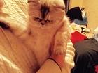 Фотография в   Кошечка ищет котика на вязку в Тольятти 0