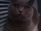 Смотреть фотографию Вязка Британская кошечка ищет кота 38559697 в Тольятти