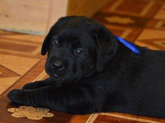 Уникальное foto Продажа собак, щенков Щенки лабрадора классического черного окраса! 32558452 в Тольятти