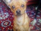 Фото в Собаки и щенки Вязка собак Очень умный, хороший пес.   мальчику 2 года. в Томске 0