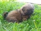 Фото в Собаки и щенки Продажа собак, щенков Предлагаю замечательных щенков, красивых, в Томске 5000