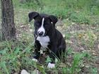Фотография в Собаки и щенки Продажа собак, щенков Продам щенка амереканского стаффорширского в Томске 3000