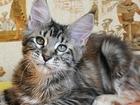 Фотография в Кошки и котята Продажа кошек и котят Продается крупная кошечка мейн-кун Джейн, в Томске 0