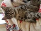 Фотография в   Отдам в дар котенка 2 месяца , сибирская в Томске 0