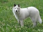 Фотография в Собаки и щенки Продажа собак, щенков Продам щенков якутской лайки.   Очень красивые, в Томске 5000