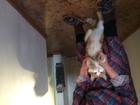 Фото в  Отдам даром - приму в дар Отдам котика в добрые руки. Большая умница, в Томске 0