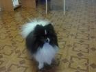 Скачать изображение Вязка собак вязка шпица 38446233 в Томске
