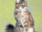 Изображение в Кошки и котята Продажа кошек и котят Кошечка мейн-кун Карина в отличном породном в Томске 0