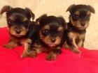 Новое фото Вязка собак мини йоркширский терьер кобель вязка 43220766 в Томске