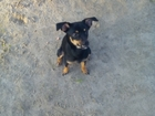Новое изображение Вязка собак Девочка ищет друга для вязки 52862406 в Томске
