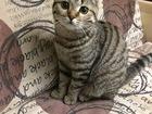 Смотреть фото Вязка кошек Предлагаем: шотландскую вислоухую красавицу на вязку! 65255004 в Томске