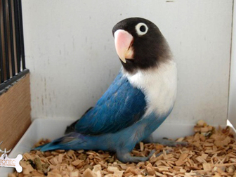 Свежее фотографию Птички продам неразлучников 34891963 в Томске
