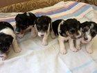 Фотография в Собаки и щенки Продажа собак, щенков Продаются щенки фокстерьера родившихся 21. в Туле 20000