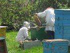 Уникальное изображение  Продаю пчел 32879358 в Туле