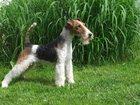 Фото в Собаки и щенки Стрижка собак Предлагаю услуги по триммингу ( искусственная в Туле 700
