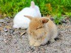 Фотография в Домашние животные Другие животные продаются крольчата . порода карликовый вислоухий в Туле 1000