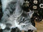 Изображение в Кошки и котята Продажа кошек и котят Пушистые рыже-персиковые, трехцветные, полосатые, в Туле 0